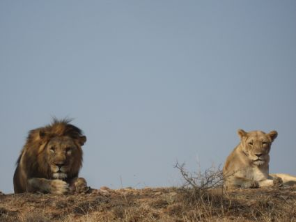 Lions resting in shade in Marakele National Park - photo by Rob McFarland
