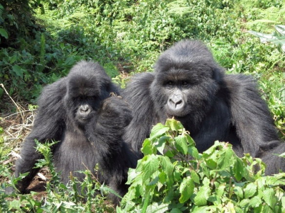 Gorillas in Virunga Massif in Rwanda - photo by Rob McFarland